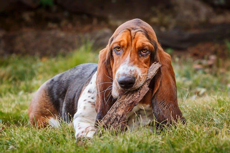Photo of Bassett Hound dog chewing of stick
