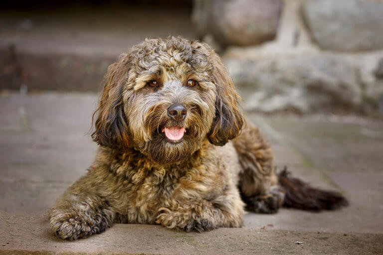 A Photo of a Poodle mix dog